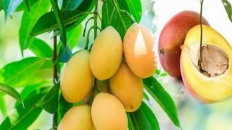 Mango çekirdeği nasıl ekilir? Mango çekirdeği nasıl çimlendirilir ?
