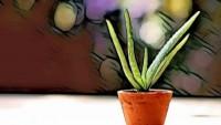 Mucize Bitkisi Aloe Vera Jeli'nin Saç ve Cilt Üzerindeki Faydaları